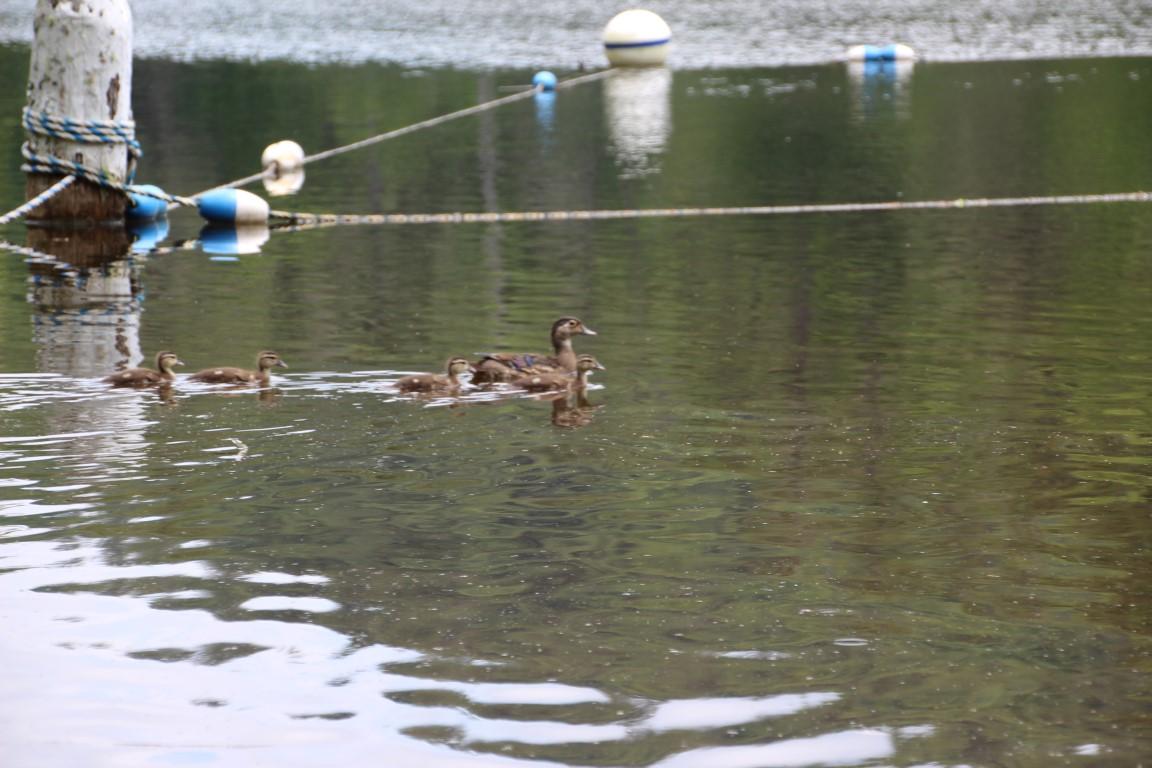 ducks-at-lake